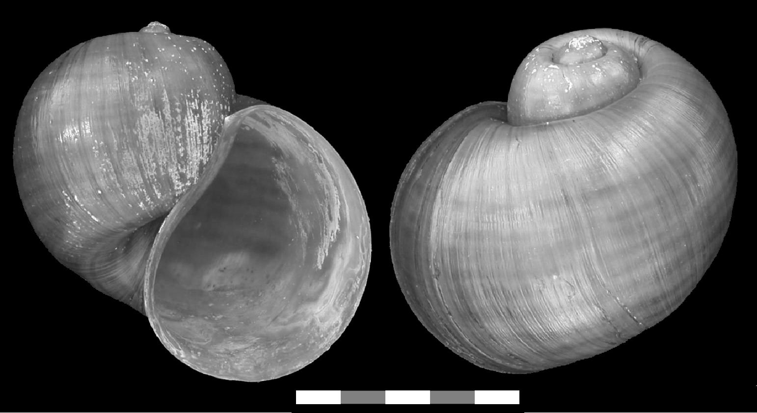 Pomacea insularum (d'Orbigny 1835) Pomacea_insularum_shell