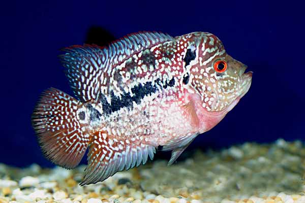 Odd-looking But Colorful and Beautiful Flowerhorns + Brief ...