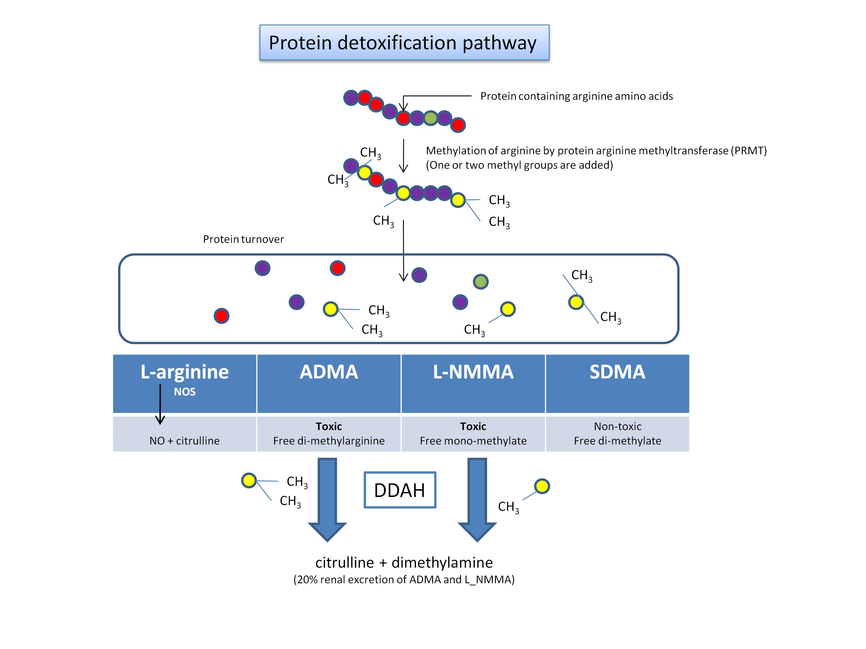 Video Production Process Flow Chart: Protein detoxification - Wikipedia,Chart