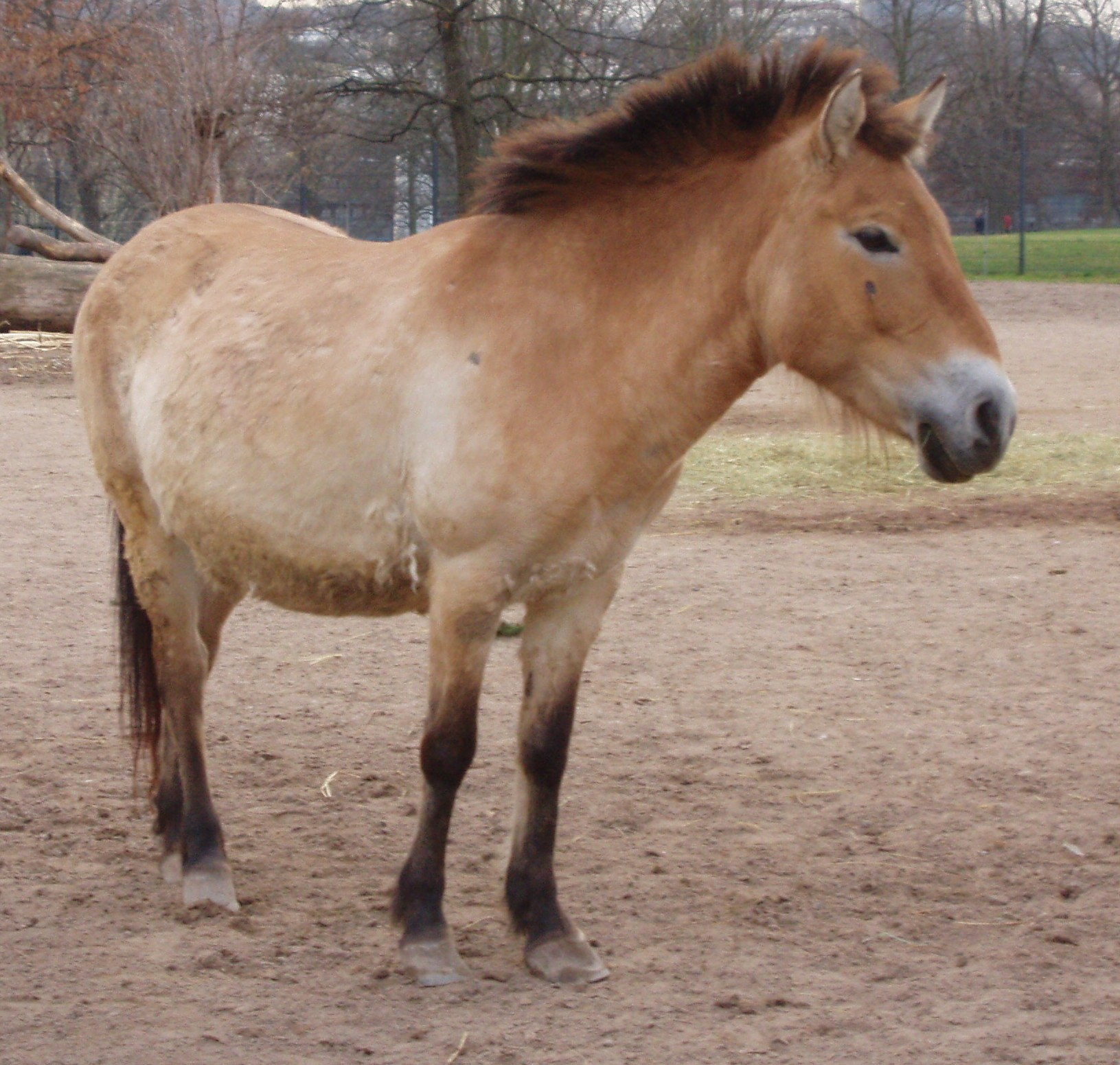 Przewalski Pferd Reiten Przewalski-pferd