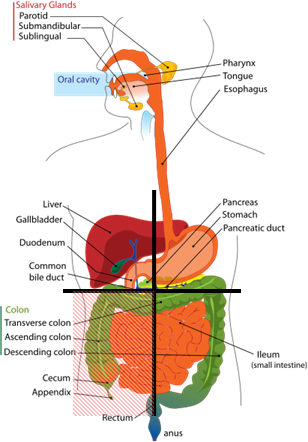 Lower Abdominal Pain in Men, Lower Abdominal Pain, Four Quadrants