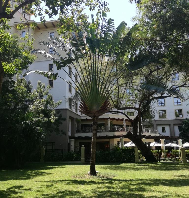 Ravenala madagascariensis - Dar es Salaam Botanical gardens.jpg