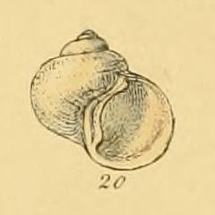 <i>Torellia delicata</i> Species of gastropod