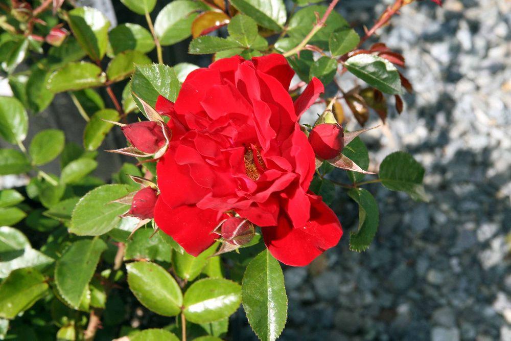 File Rosa Red Ribbons 4zz Jpg Wikimedia Commons