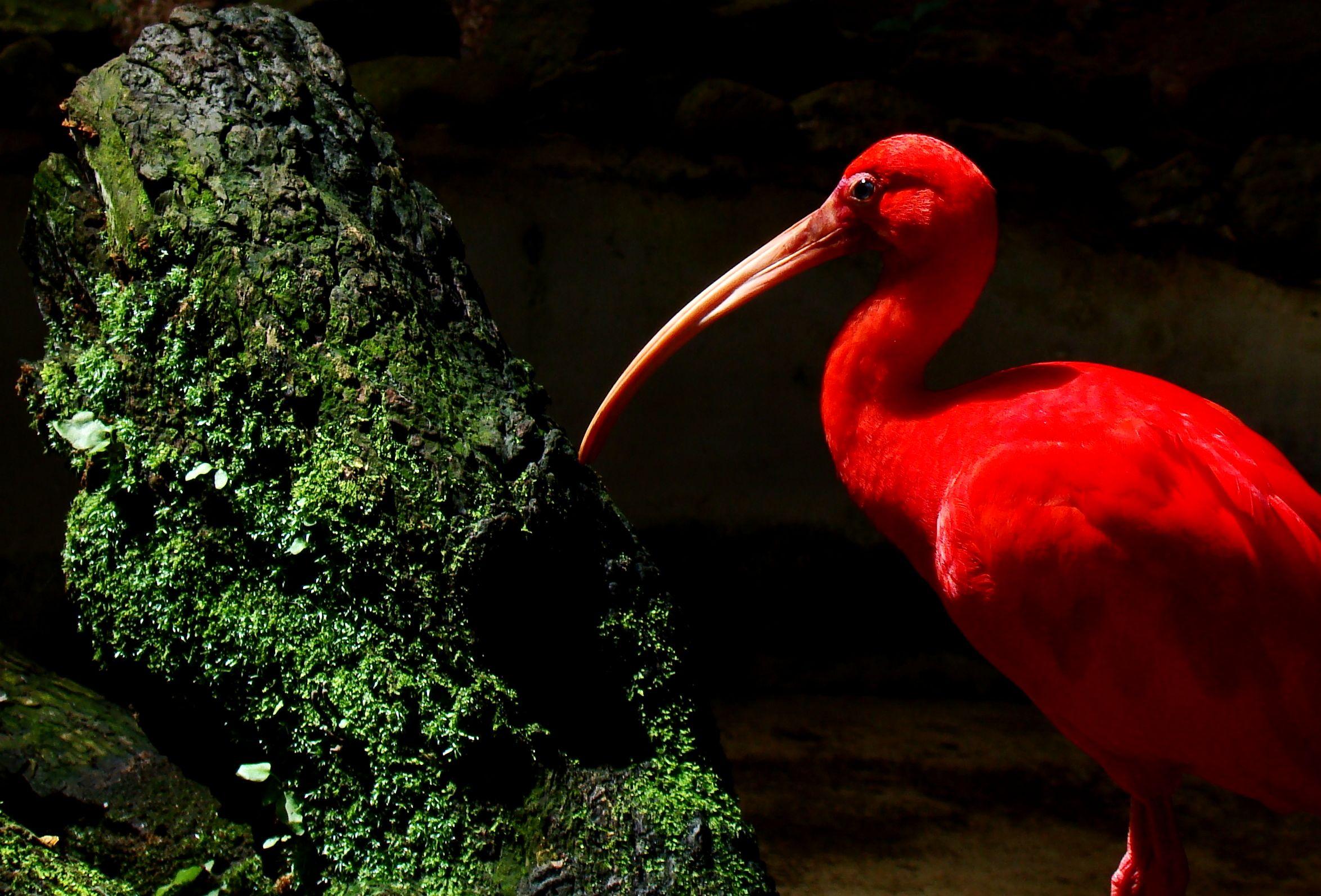 Scarlet ibis analysis