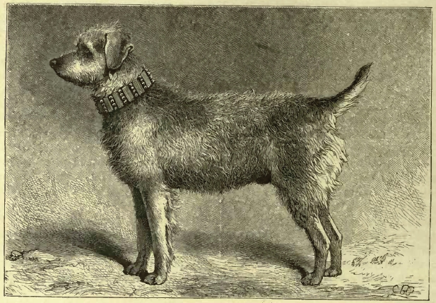 Fil:Shaw Airedale Terrier.jpg