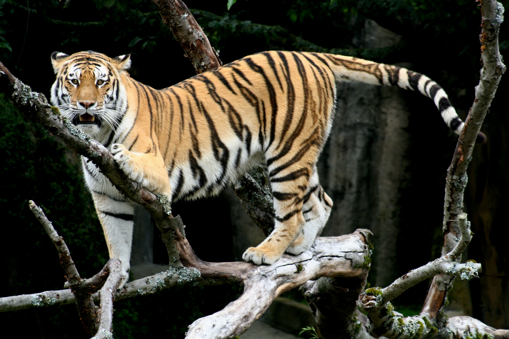 file:siberian tiger sf - wikimedia commons