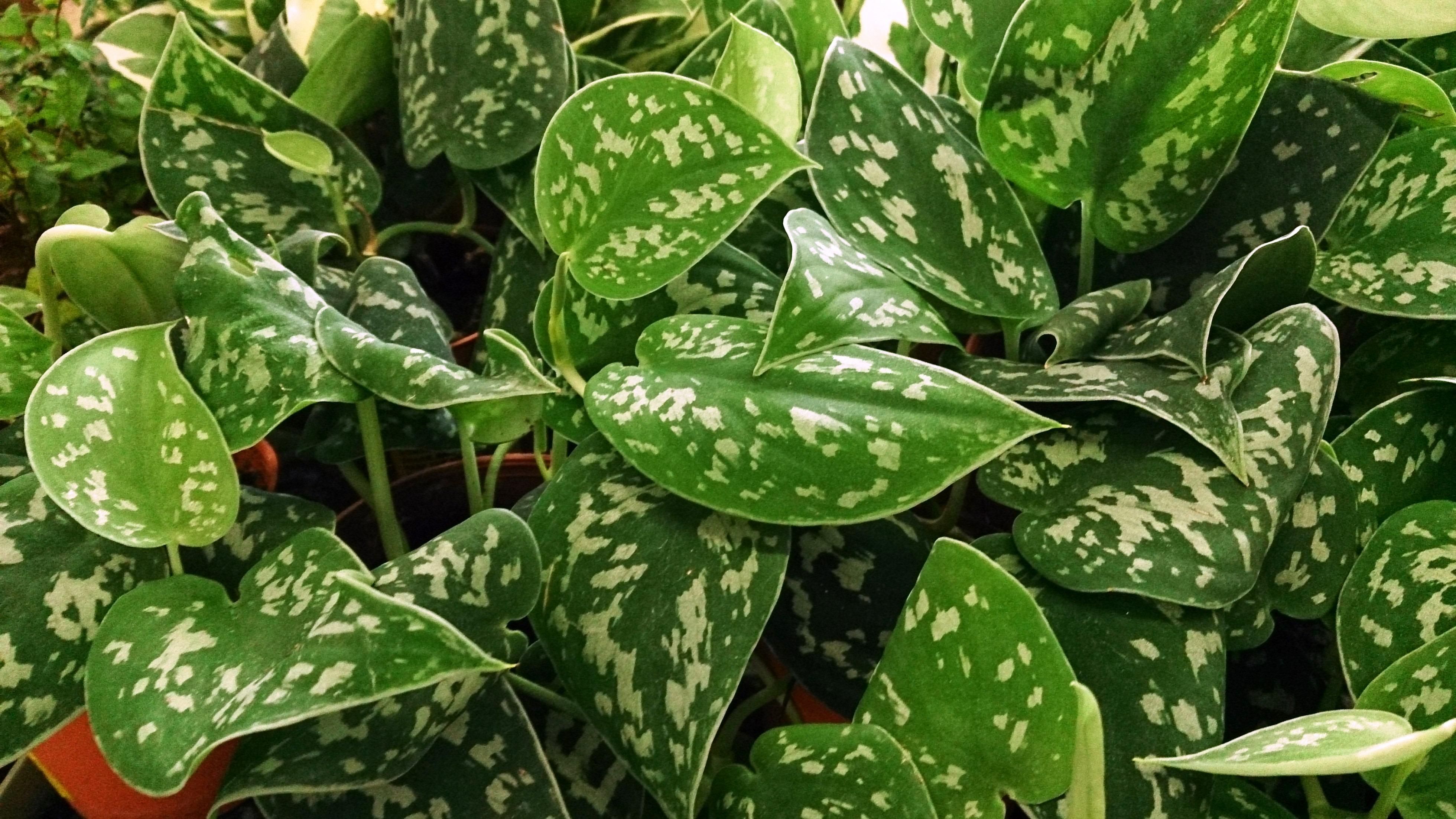 efeutute verzweigt sie sich pflanzen botanik green24 hilfe pflege bilder. Black Bedroom Furniture Sets. Home Design Ideas