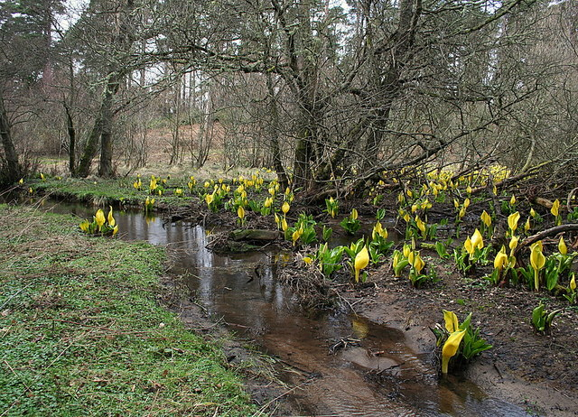Lysichiton americanus  Skunk_Cabbage_by_Lochnabo_herald_the_Spring_-_geograph.org.uk_-_1213742