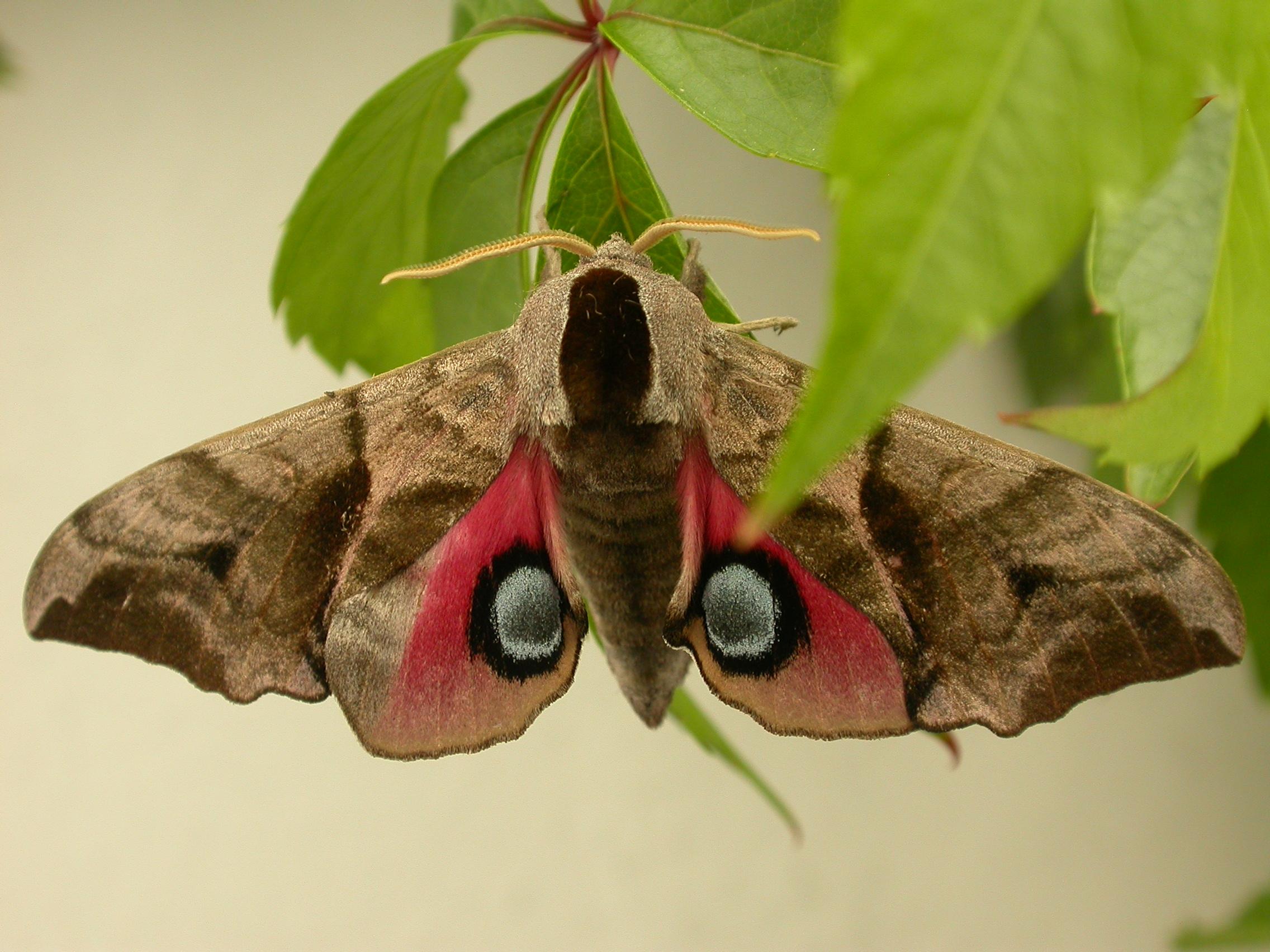 Крупная зелёная гусеница бражника глазчатого с голубым «рогом» на хвосте
