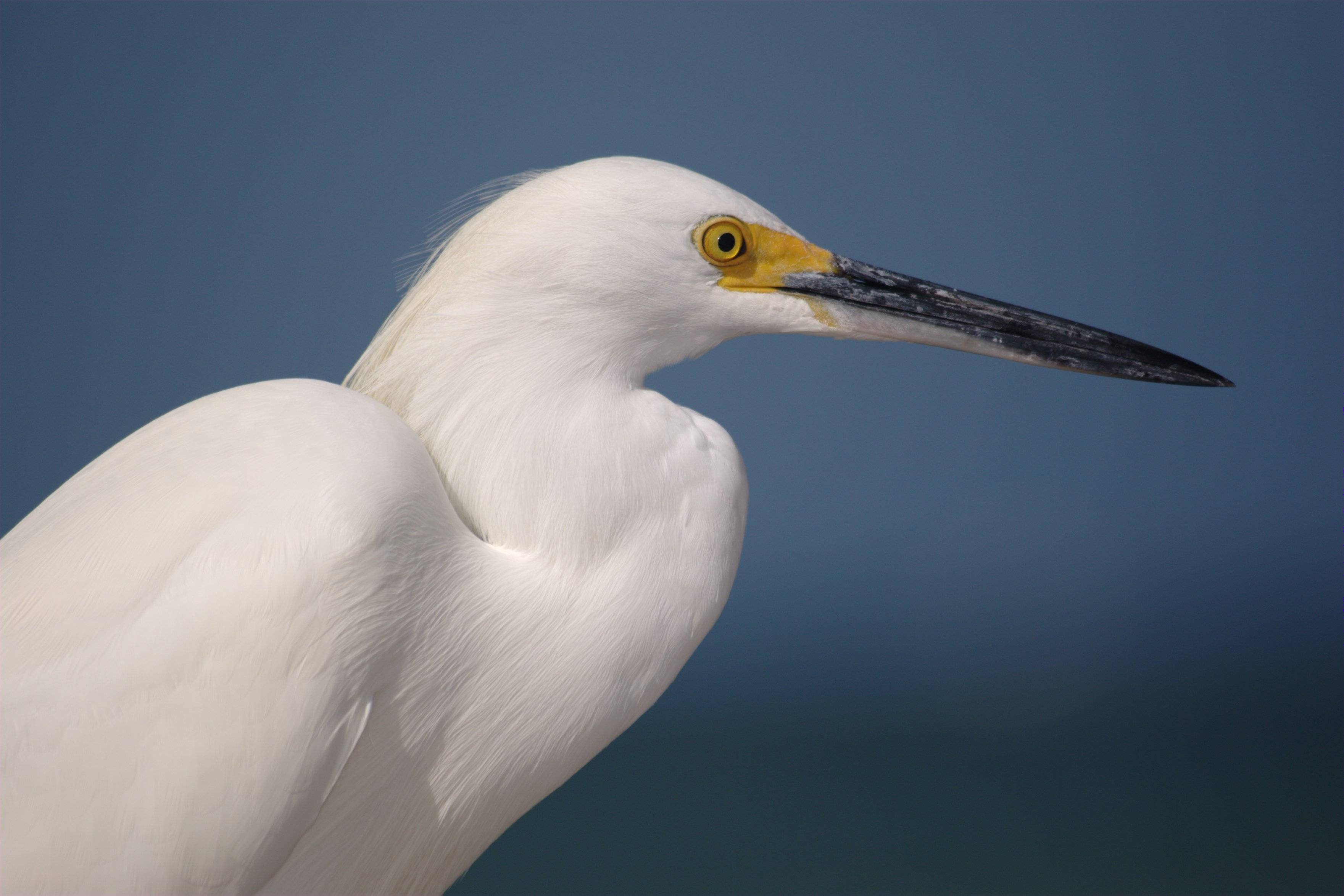 File Snowy Egret Profile Jpg Wikimedia Commons