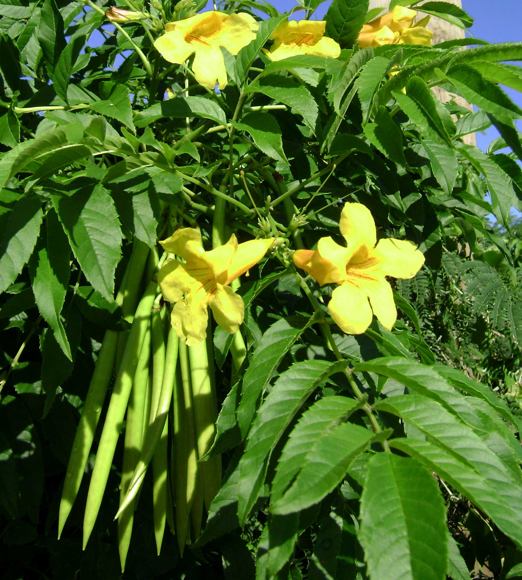 File:Tecoma stans, flowers+pods.jpg - Wikimedia Commons
