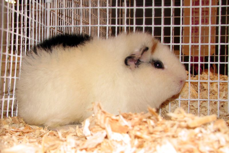 The different types of guinea pig cages coops cages coops and type of guinea pig cage1 sciox Gallery