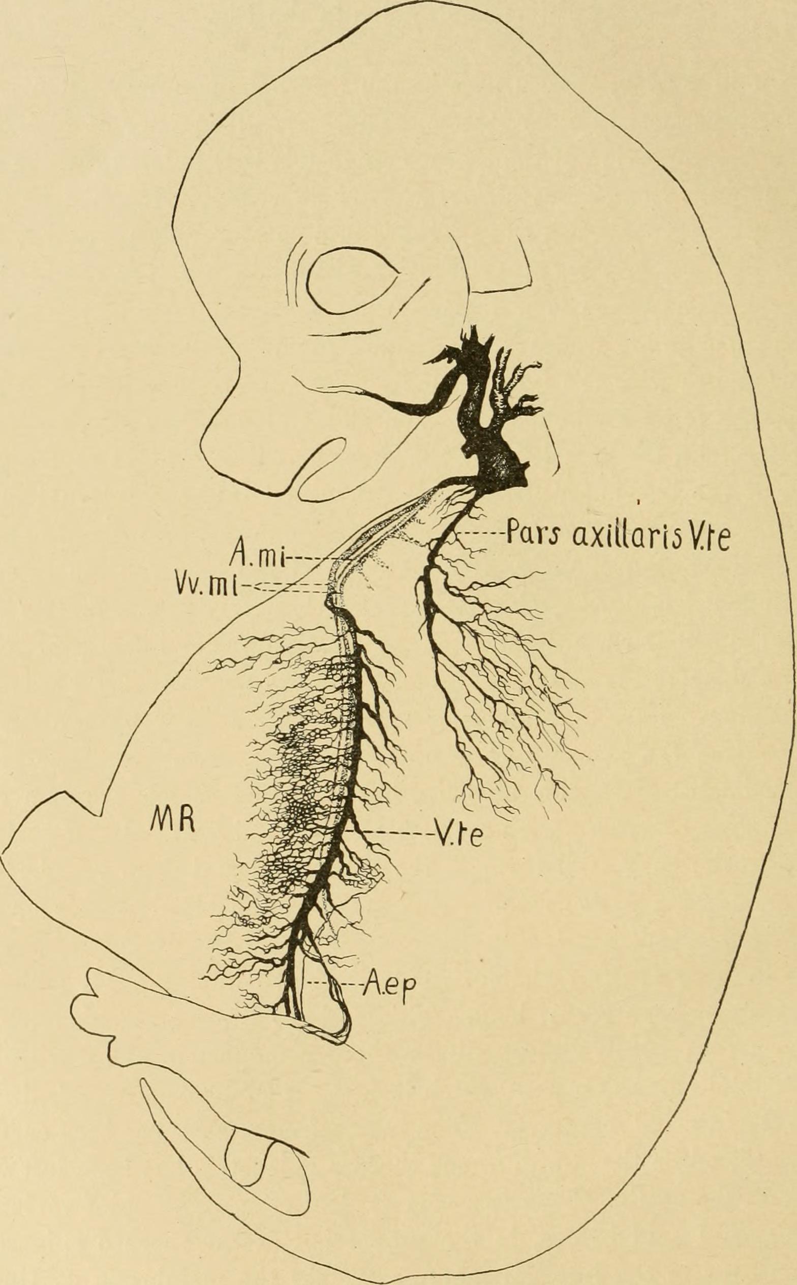 File:The American journal of anatomy (1909) (17967042160).jpg ...