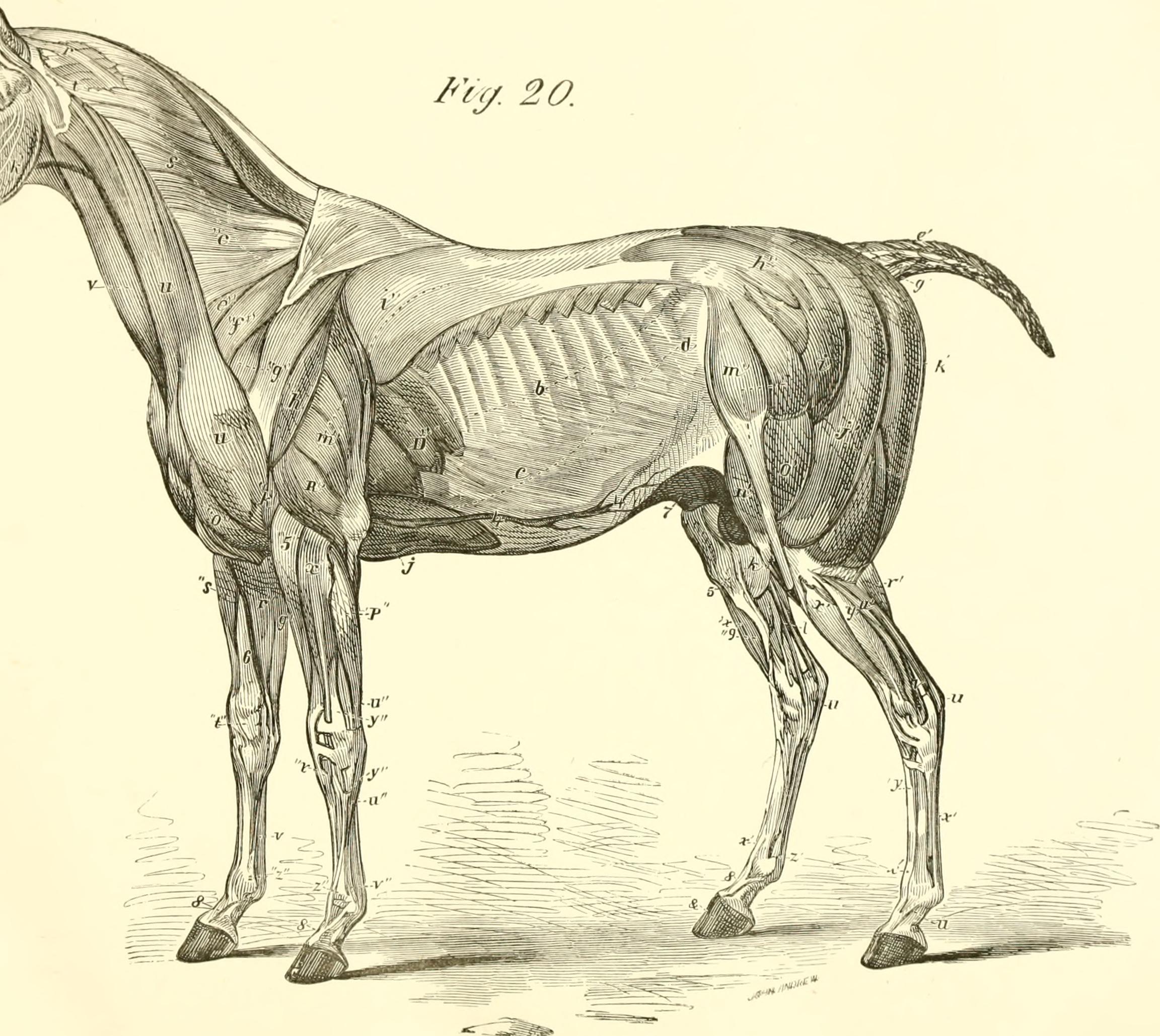 Groß Equine Anatomy And Physiology Fotos - Menschliche Anatomie ...