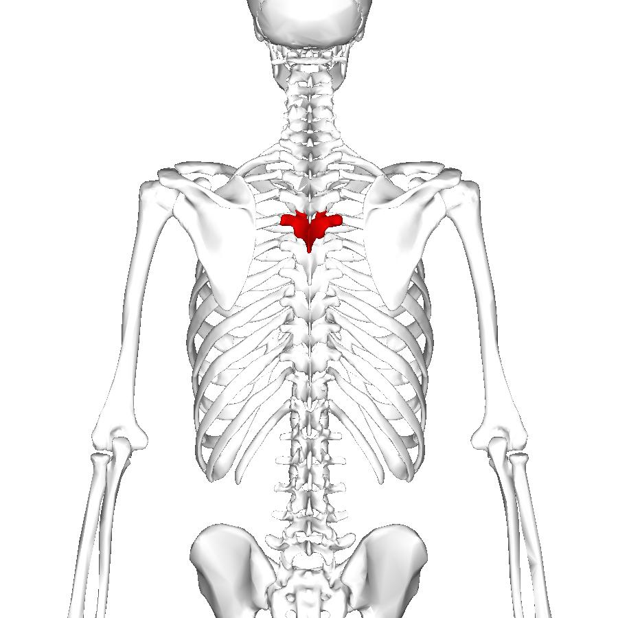 File:Thoracic vertebra 5 posterior.png - Wikimedia Commons