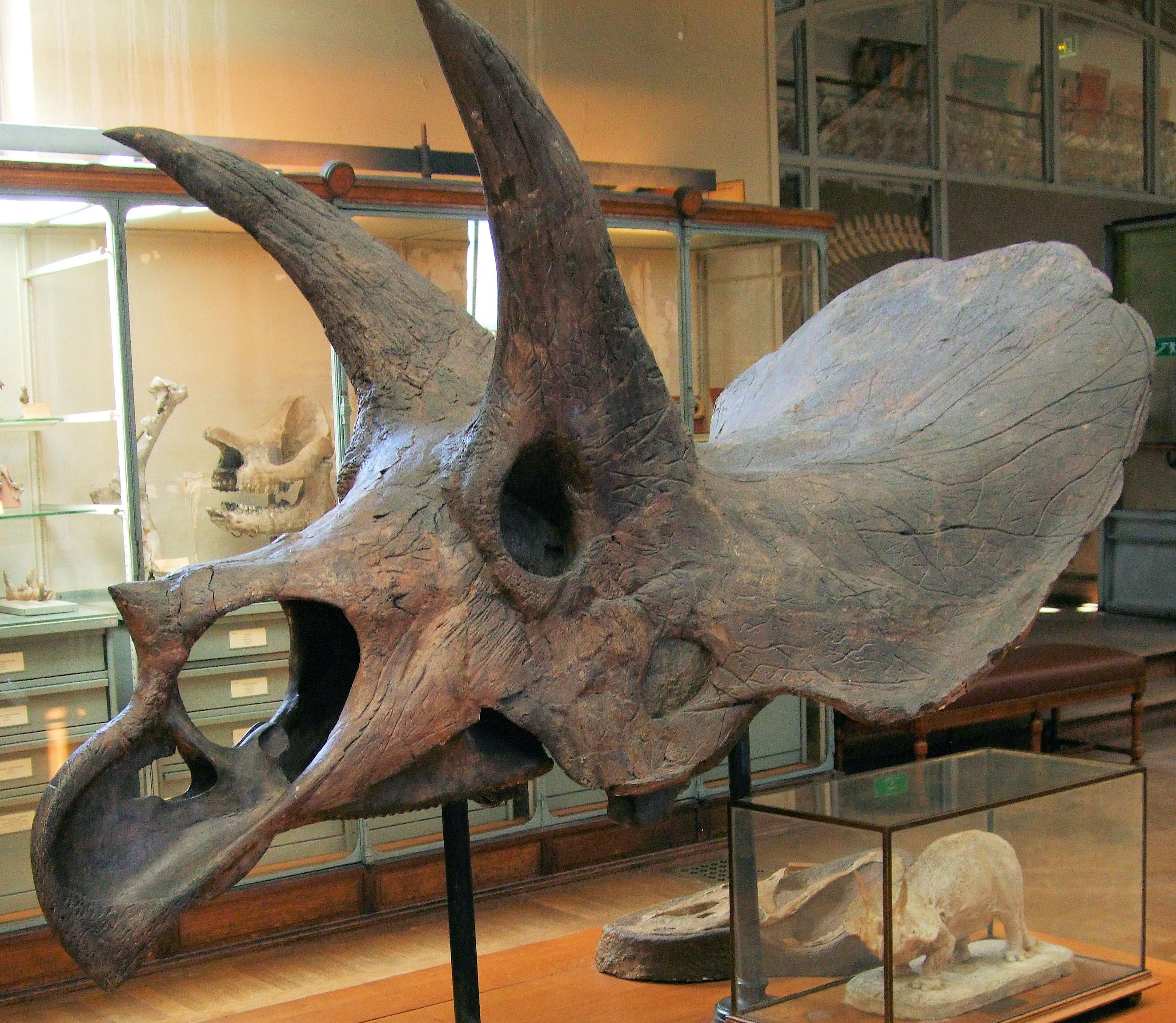 file triceratops horridus skull in the gallery of paleontology