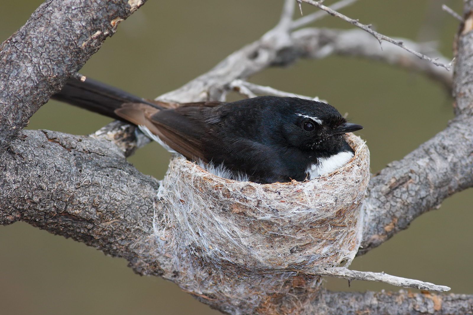 willie wagtail wikipedia