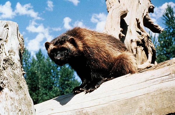 Obrázek k otázce: Co znamená Wolverine?