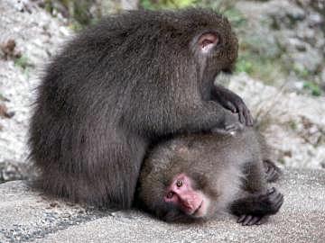 http://upload.wikimedia.org/wikipedia/commons/c/c6/Yakusaru_monkey.JPG