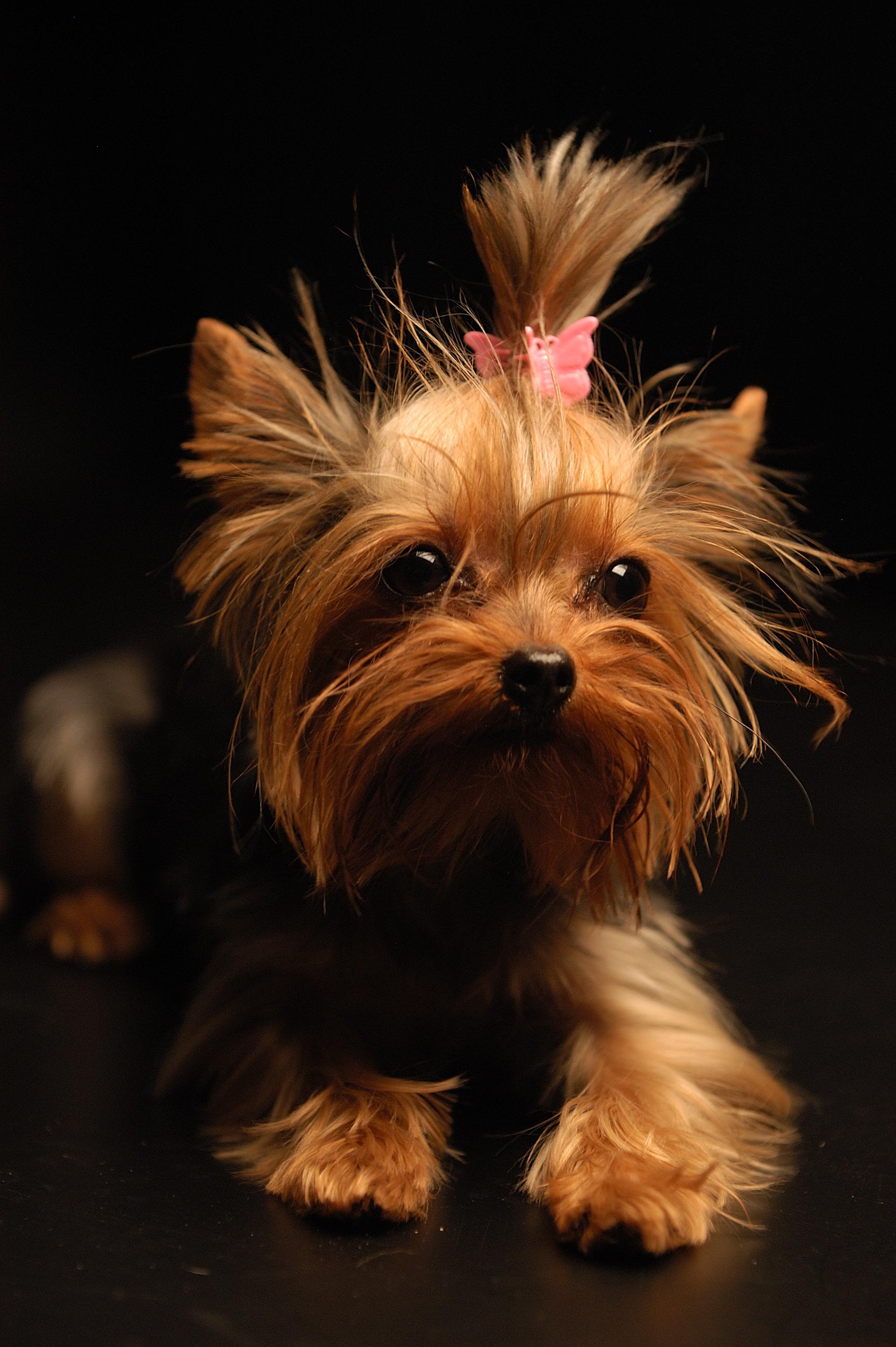 File:Yorkshire Terrier Apple.jpg - Wikimedia Commons