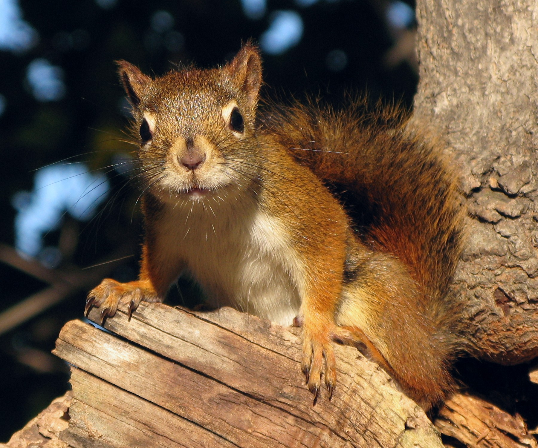 file cureuil roux red squirrel wikimedia commons. Black Bedroom Furniture Sets. Home Design Ideas