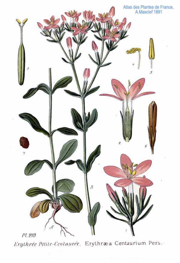 https://upload.wikimedia.org/wikipedia/commons/c/c7/219_Erythraea_centaurium_Pers.jpg