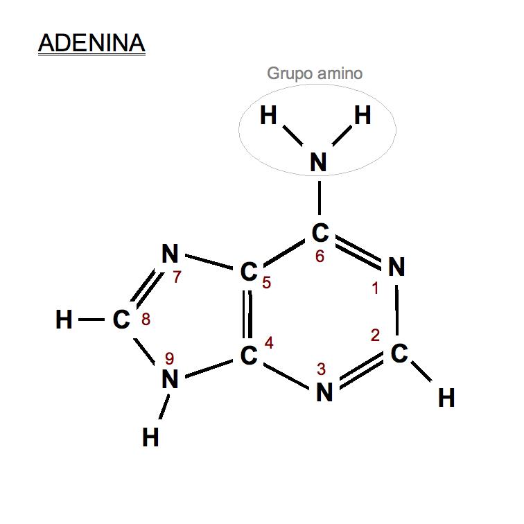 Adenina.png