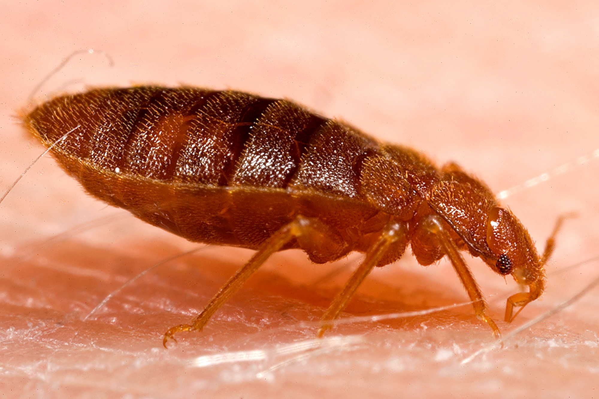 Close up of bed bug perched on human skin