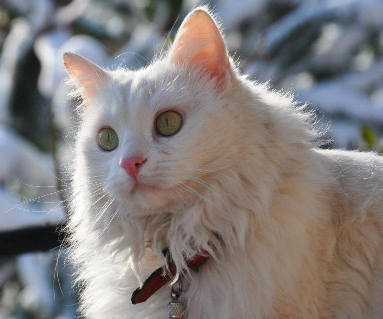 File:Angora Cat (White).jpg - Wikimedia Commons