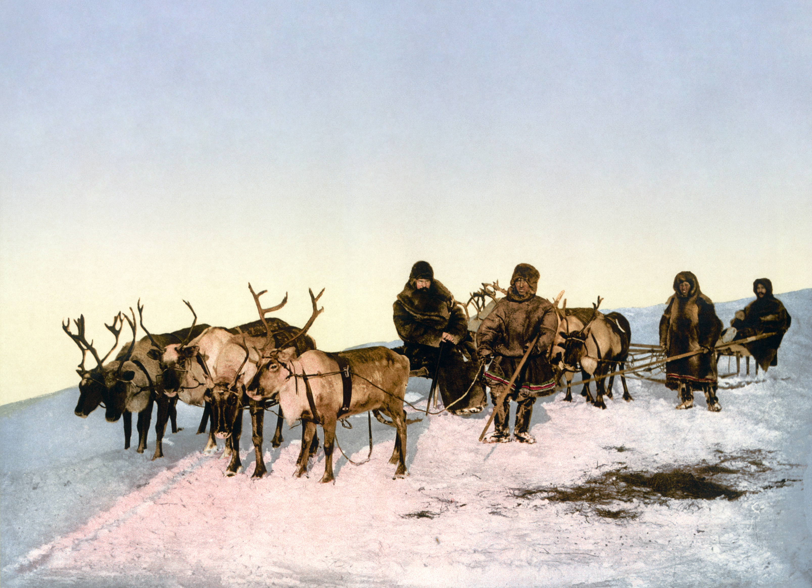 Reindeer Wikipedia