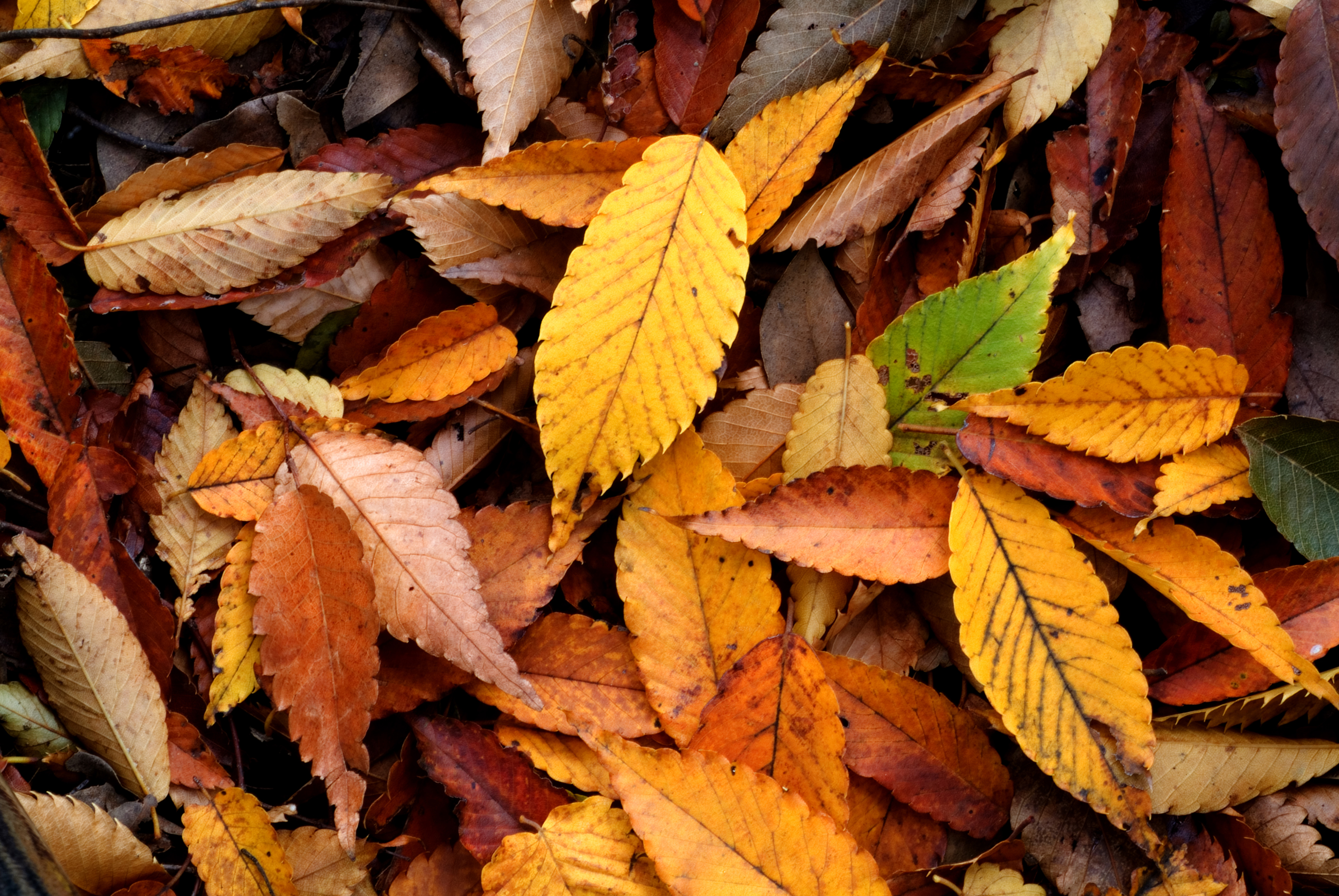 File:Autumn Leaf 08Nov17.jpg - Wikimedia Commons