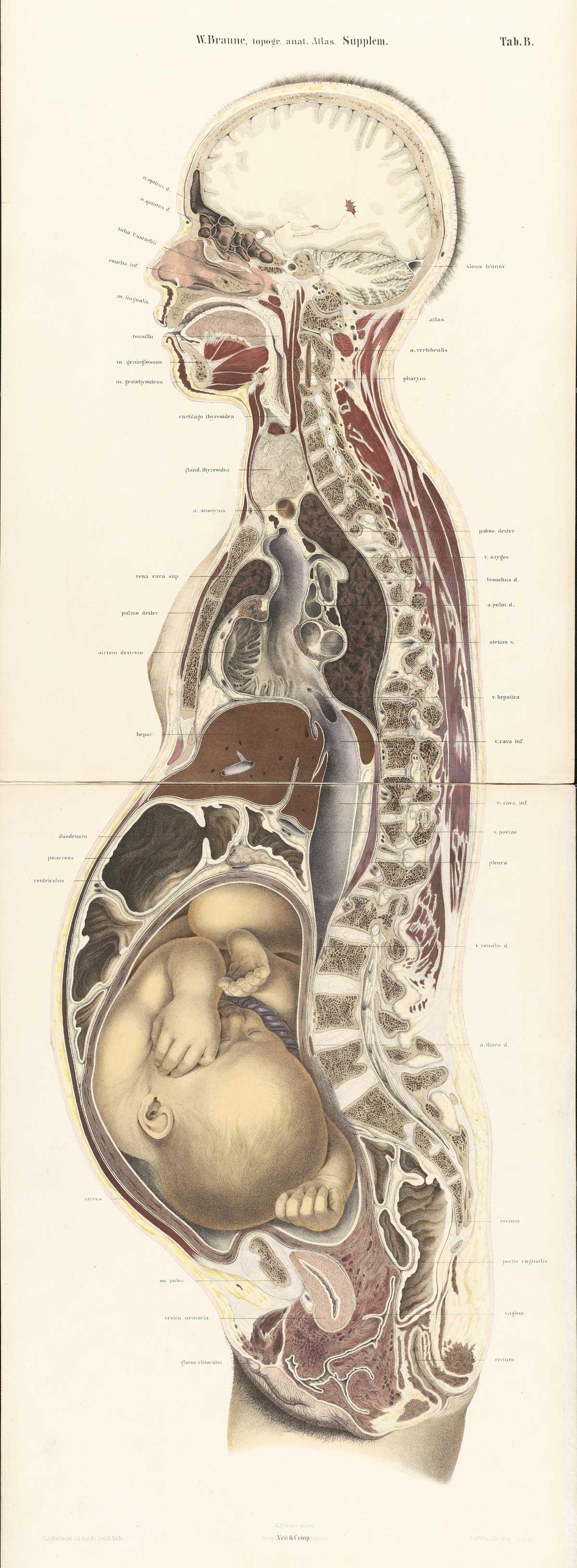 File:Braune Topiographisch-anatomischer Atlas supplement 2 B1.jpg ...
