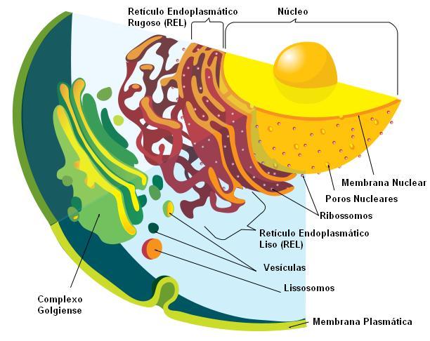 celula procariota y eucariota. La célula eucariota