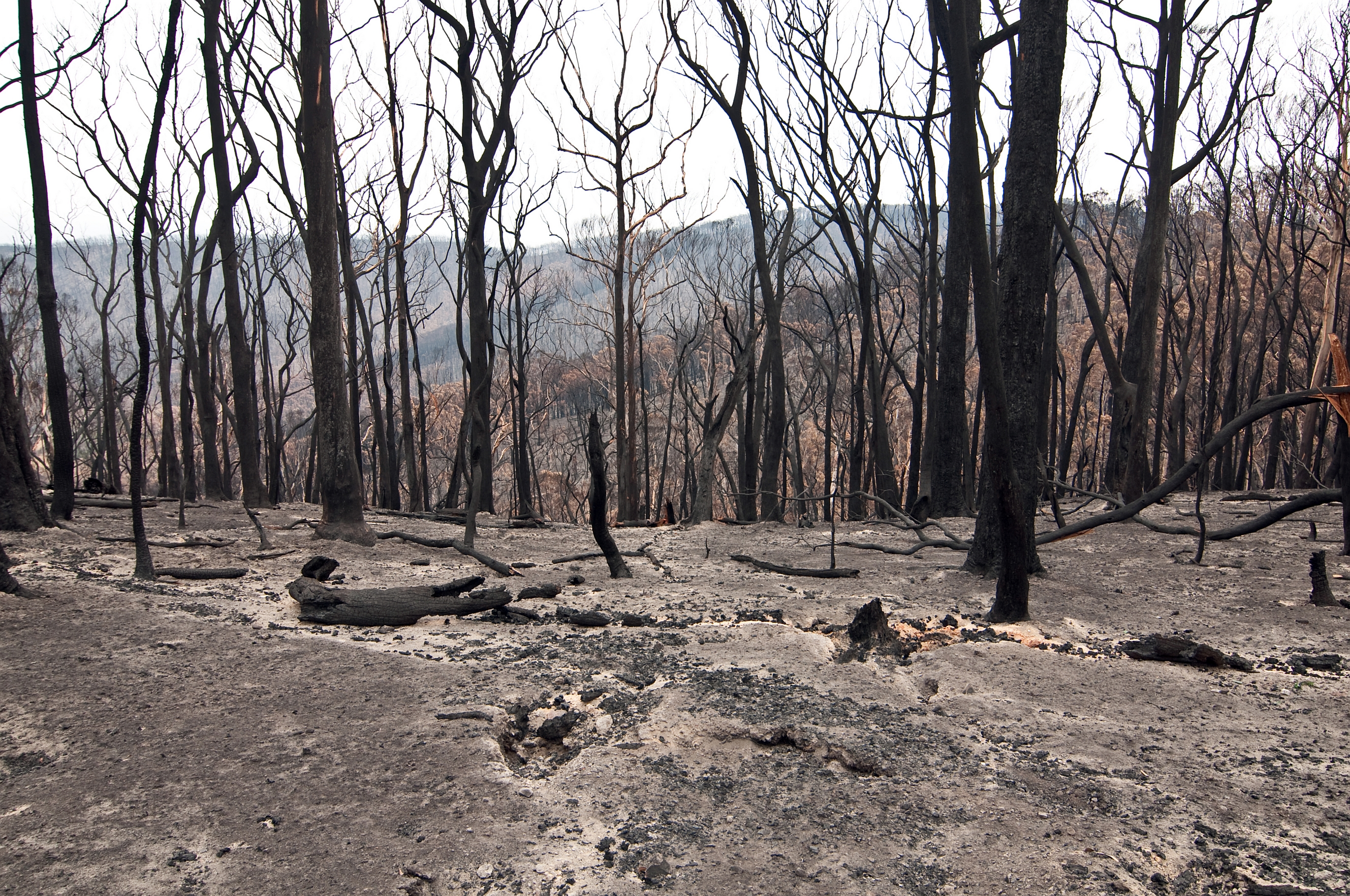 Image of blackened, dead trees and bare earth in Kinglake national park following black saturday