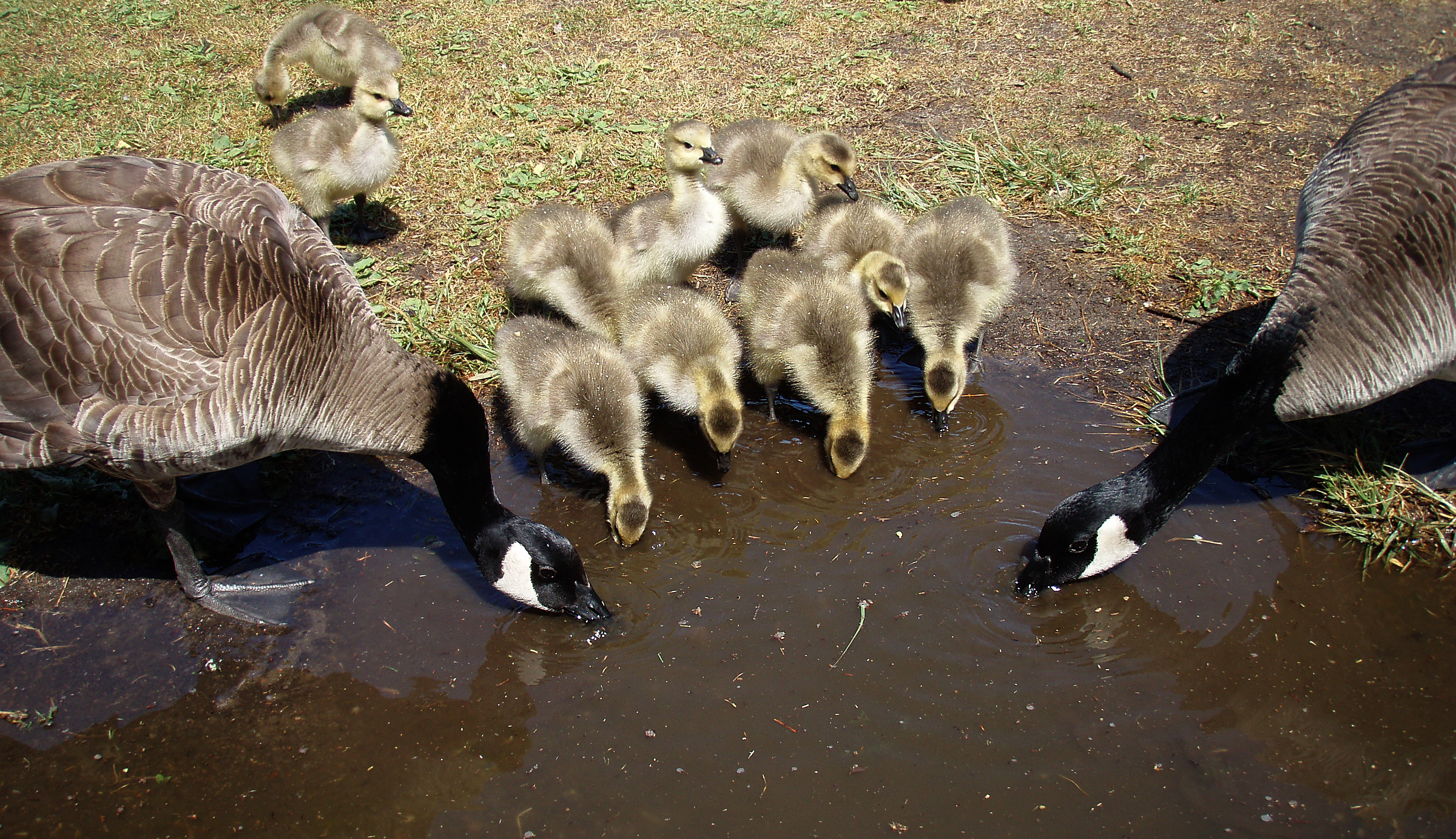 English: Canada geese and goslings