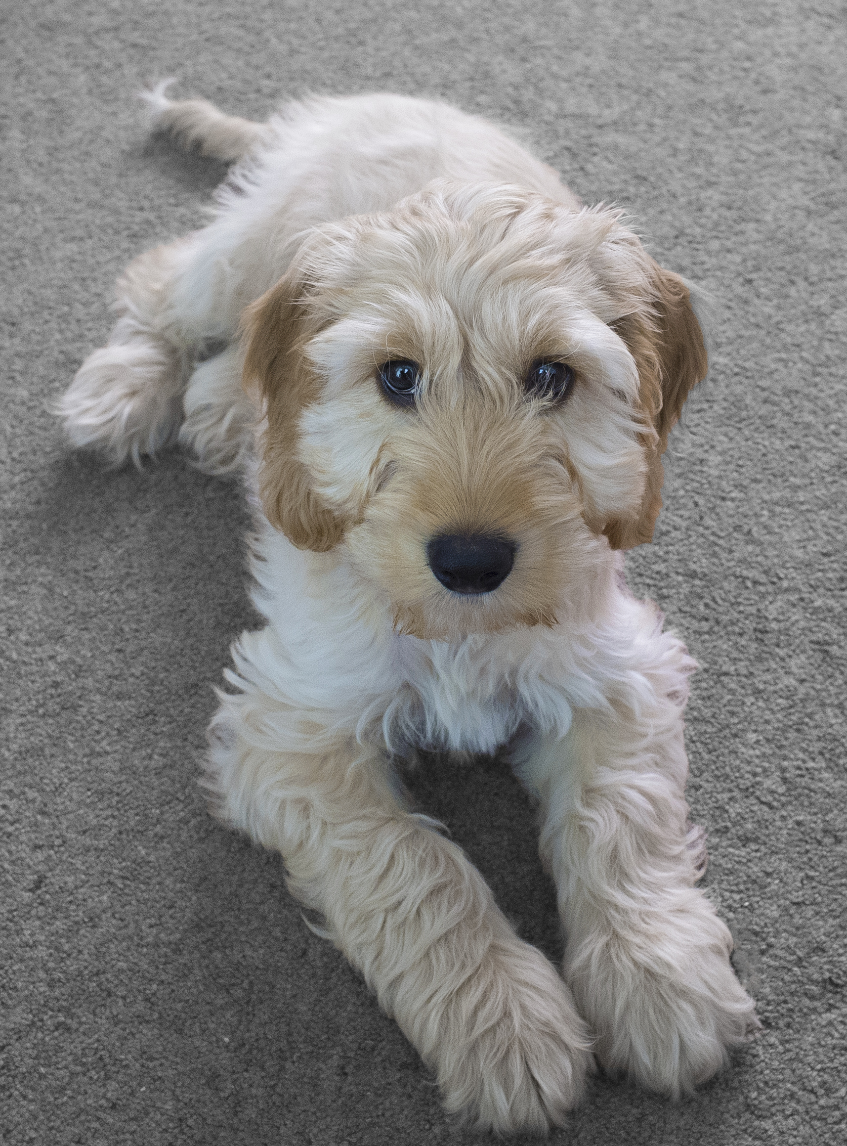 Cockapoo Dogs For Sale In Essex