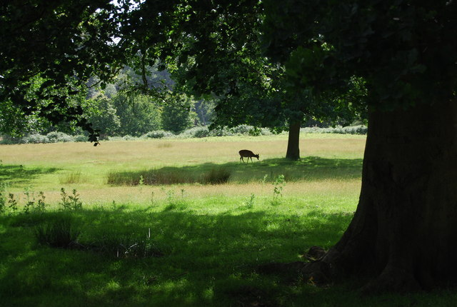 Deer grazing in Knole Park - geograph.org.uk - 857591