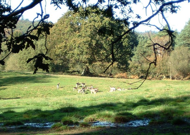 Deer in the Bolderwood Deer Sanctuary - geograph.org.uk - 333292