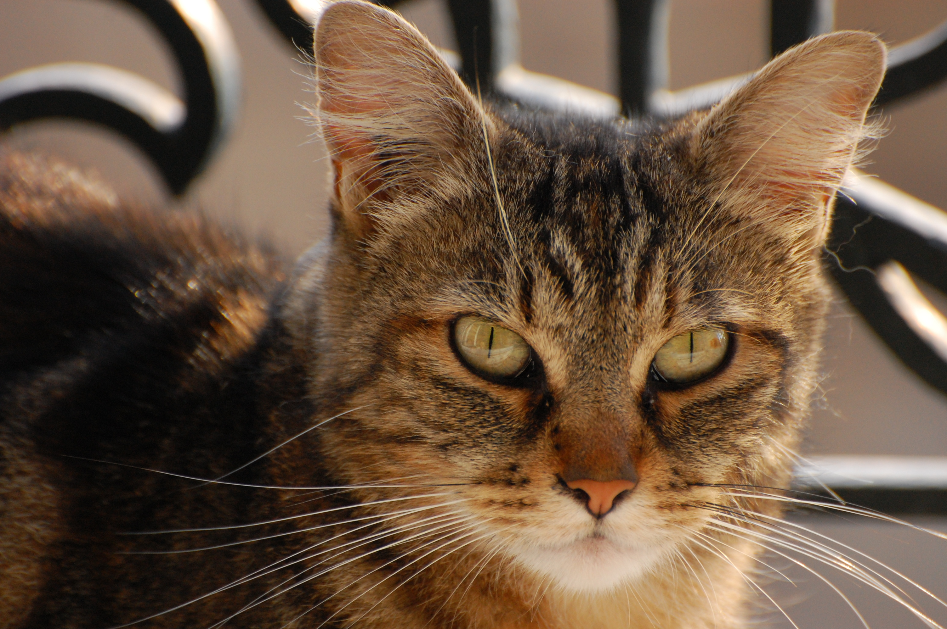 File domestic shorthaired cat face jpg wikimedia commons