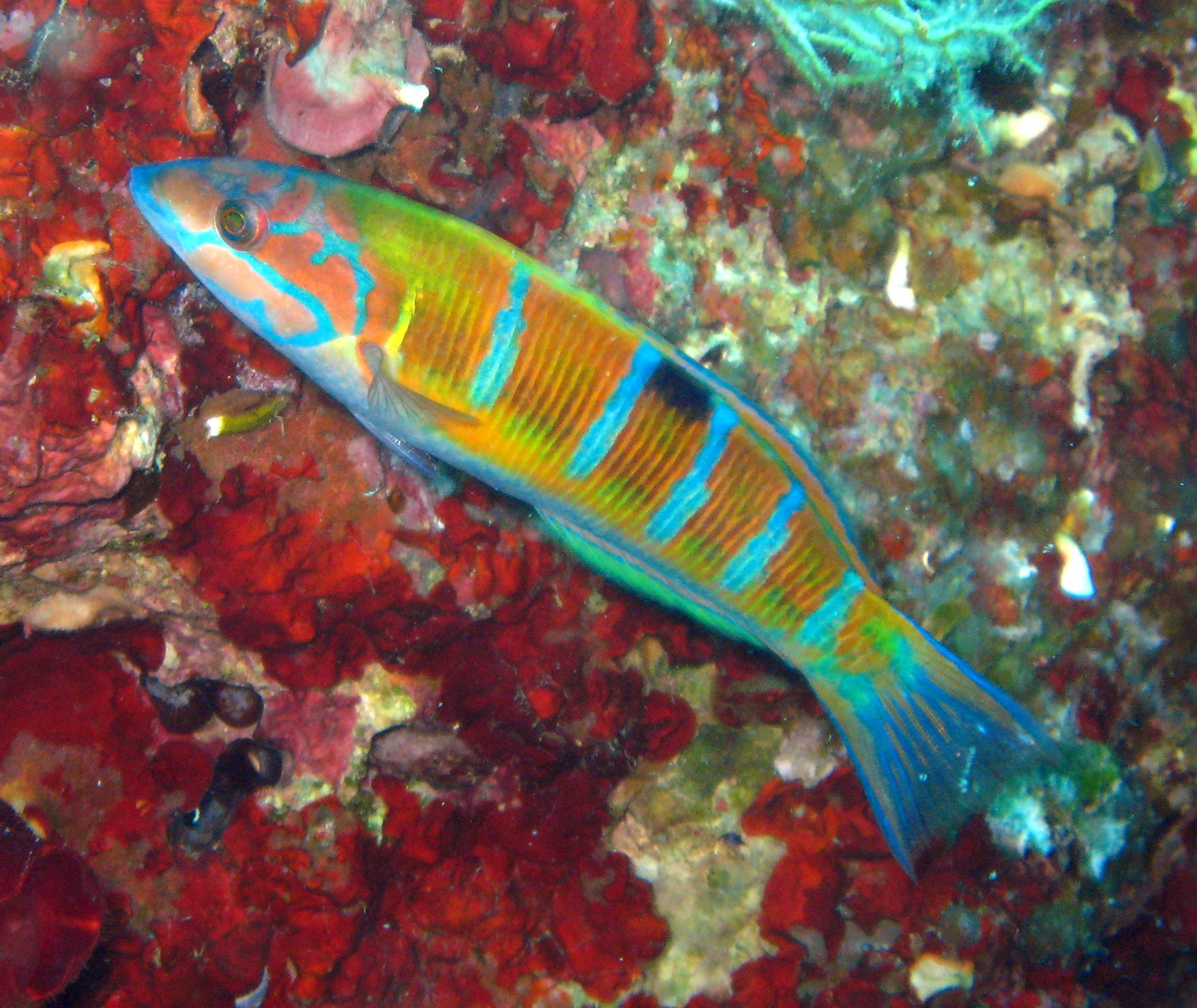 Knez (Coris julis) Female_Thalassoma_pavo