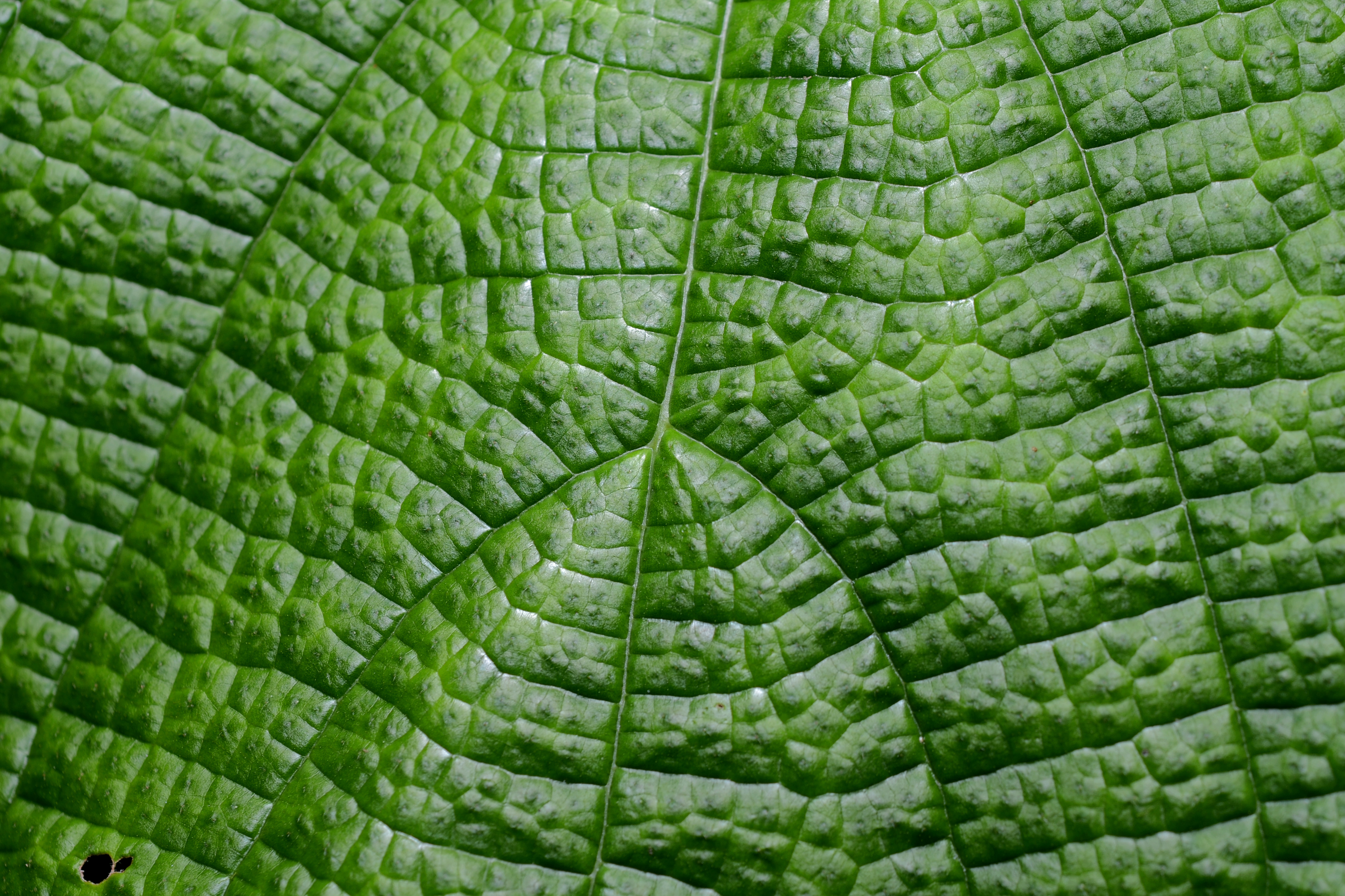 File:Flickr - ggallice - Leaf texture (5).jpg - Wikimedia Commons