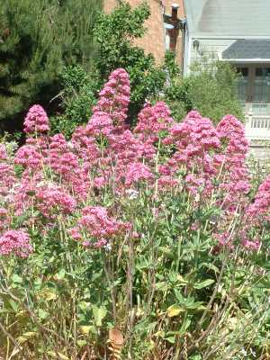 Red Valerian, a perennial plant.