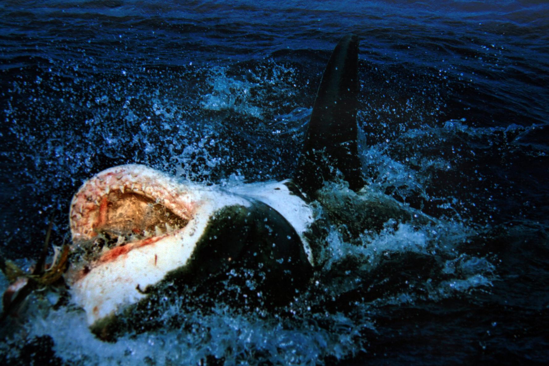 file great white shark on his back jpg file great white shark on his back jpg