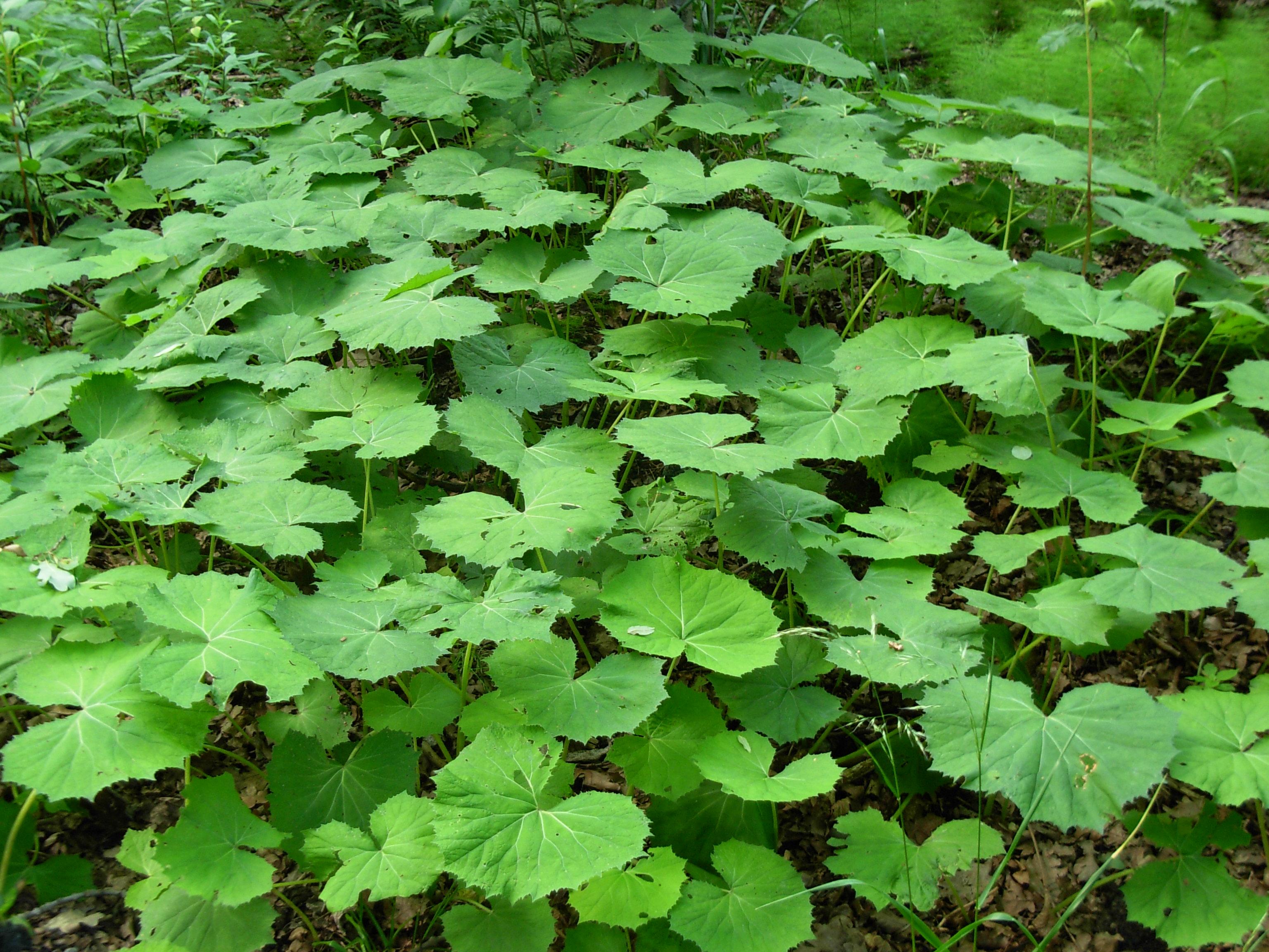 file green big leaves plants jpg