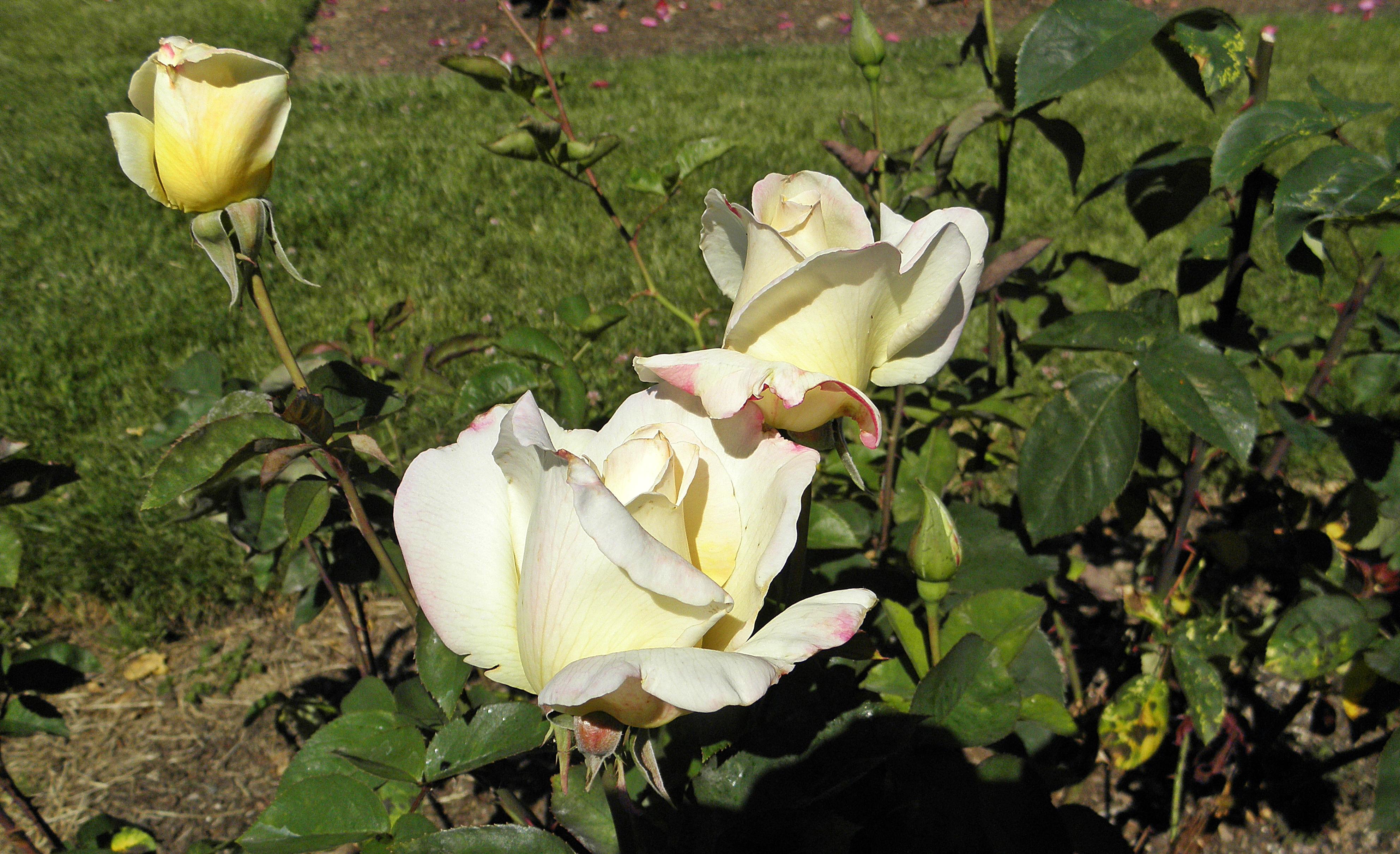 Rose Garden Tea Rooms Westmarsh