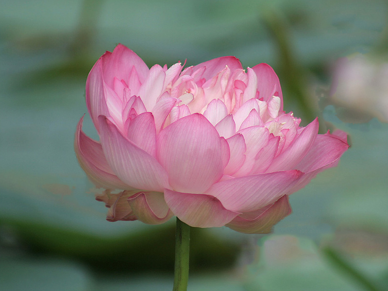 lotus-rad-dal-lake