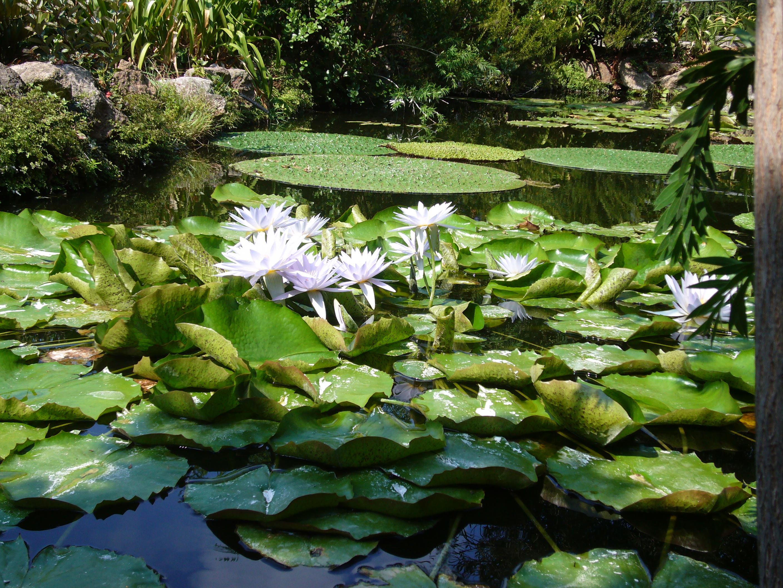 File:Ischia la Mortella Nymphaea lotus 1130756.JPG ...
