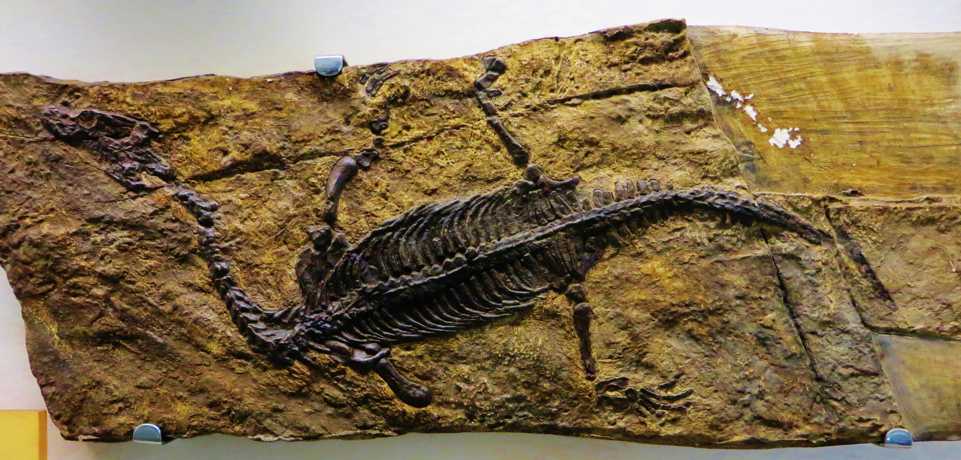filelariosaurus balsami esino perledojpg