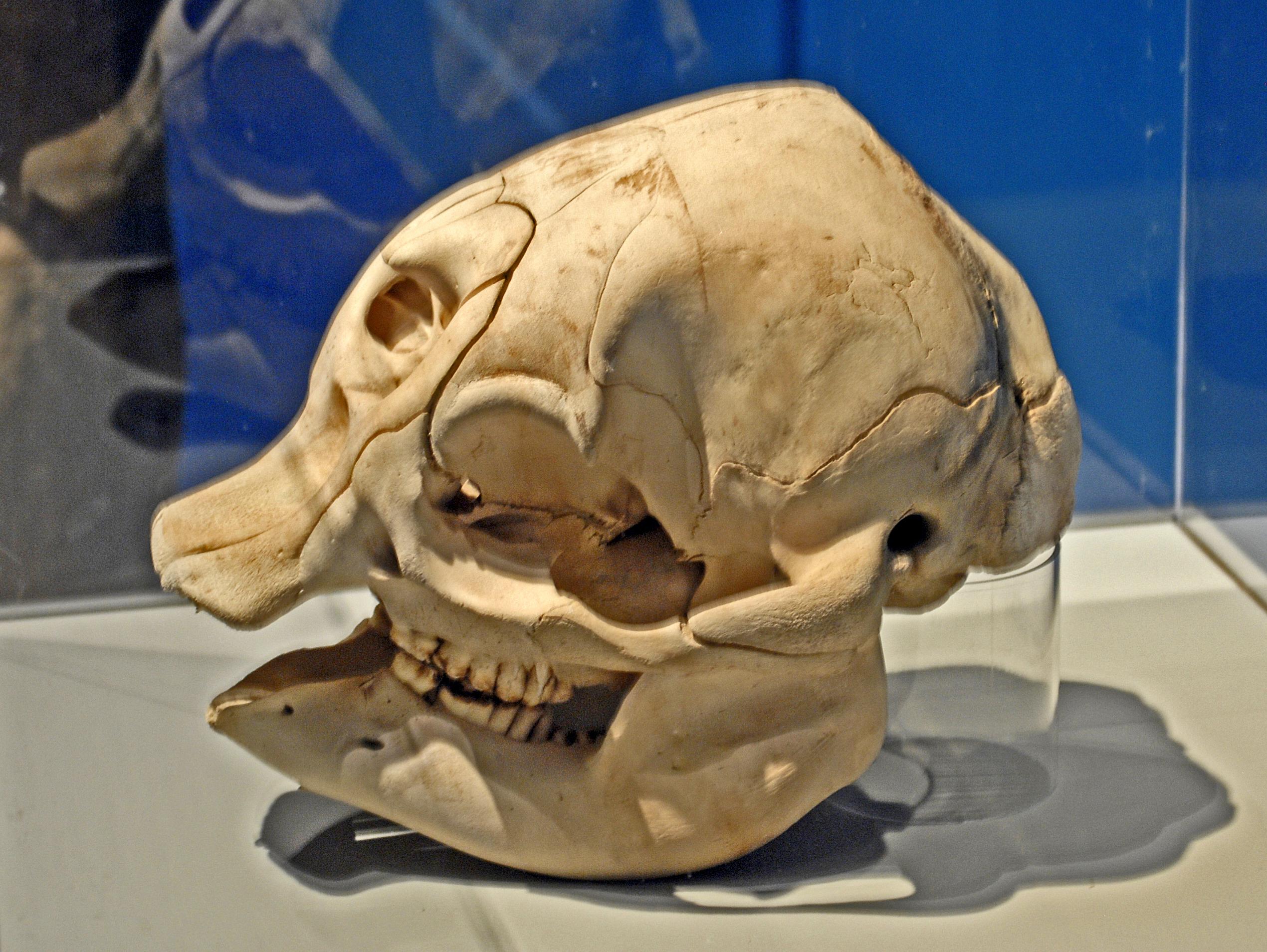 Fileloxodonta Africana Skull Of Babyg Wikimedia Commons